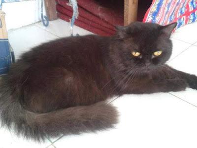 Kumpulan Jenis Ras Kucing di Dunia Terlengkap