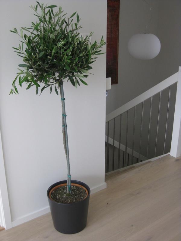 Plantas en interior un peque o rbol de olivo que se ve for Arbol interior