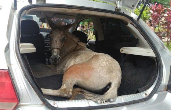Homens são detidos transportando burro dentro de carro de passeio
