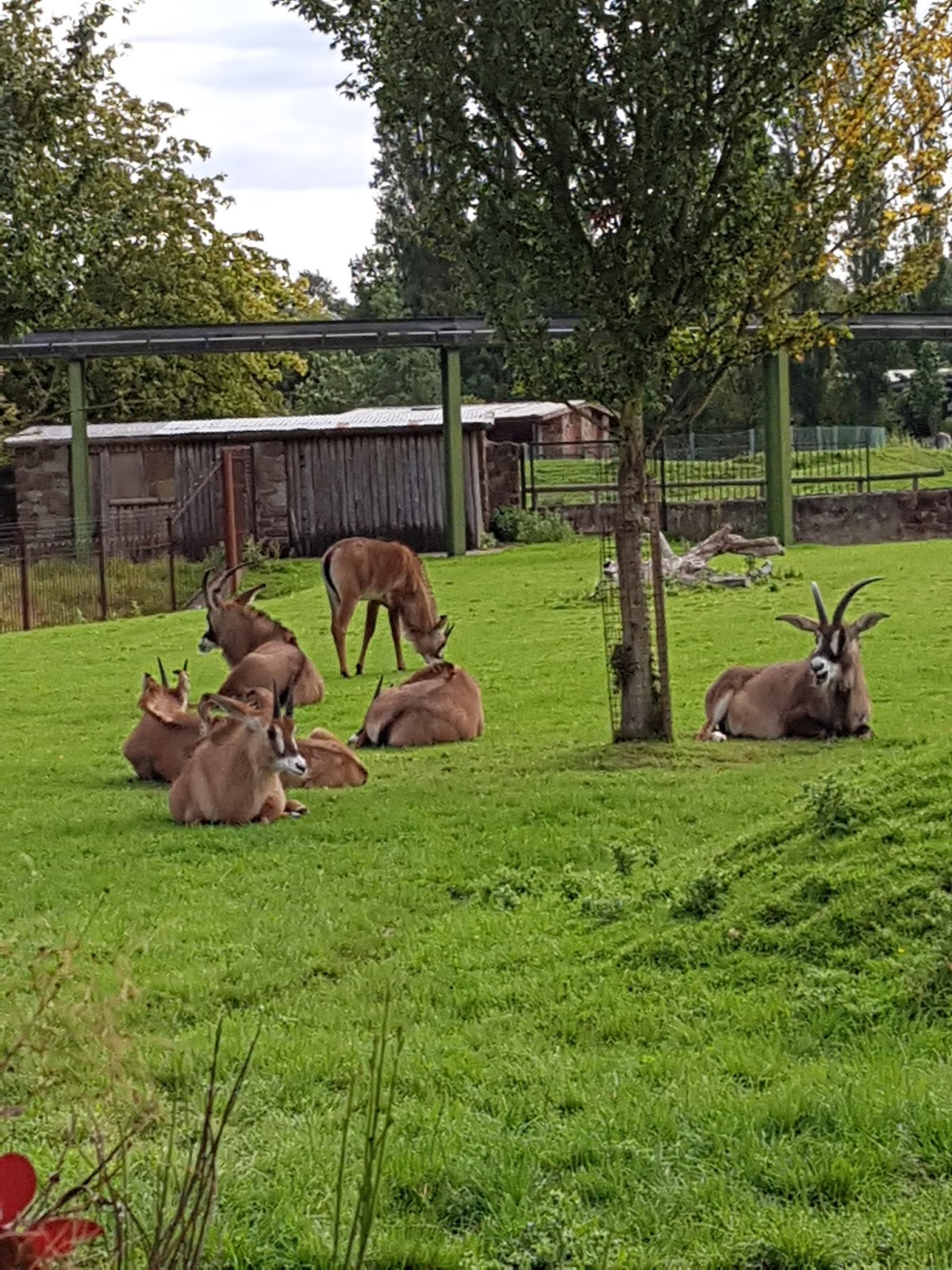 A group of Roan Antelope some sitting on grass some standing