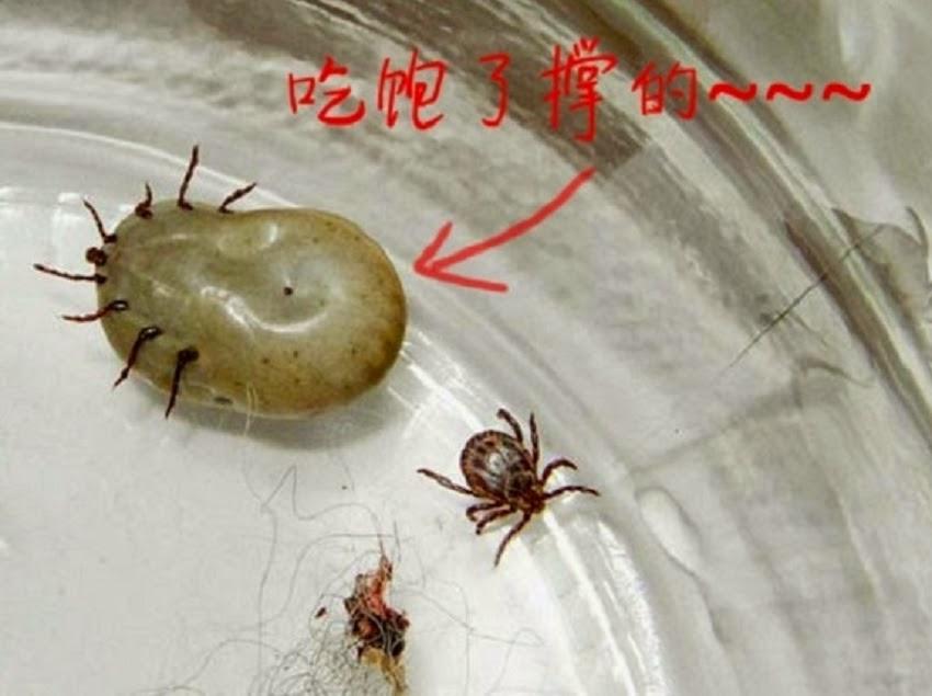 生活小品: 注意了!這種蟲太恐怖了!每個人家裡都有..尤其是有養寵物的!一定要消滅牠們!!