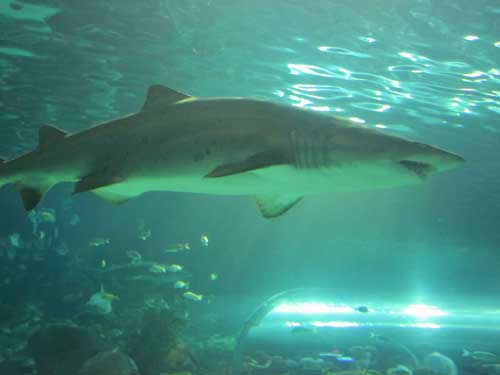 Ripley's Aquarium (Sand Tiger Shark)