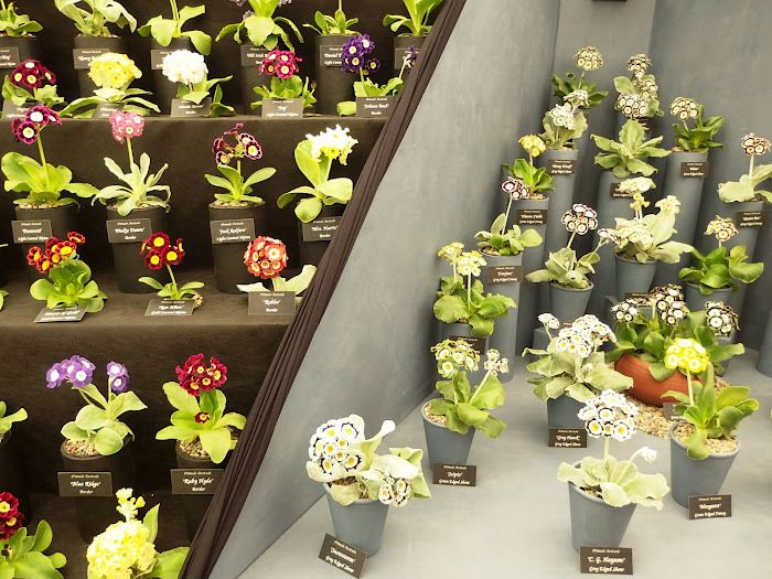 Part of the Auricula theatre presented by Auricula Nurseries