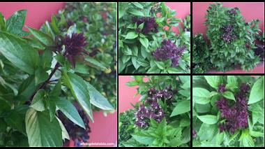 Albahaca Reina de Siam (Ocimum basilicum var. thyrsiflora)