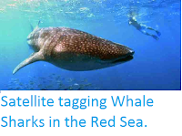 http://sciencythoughts.blogspot.co.uk/2014/08/satellite-tagging-whale-sharks-in-red.html