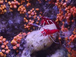 crevettes cardinales