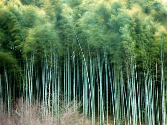 Mitigation Global Warming by Bamboo Forest