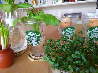 スタバのカップは水耕栽培にぴったり♪ 家が温室化してます(*´▽`*)