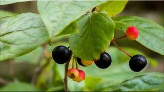 gambar buah huckleberry