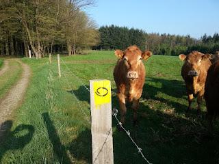 Kühe stehen am Wegesrand