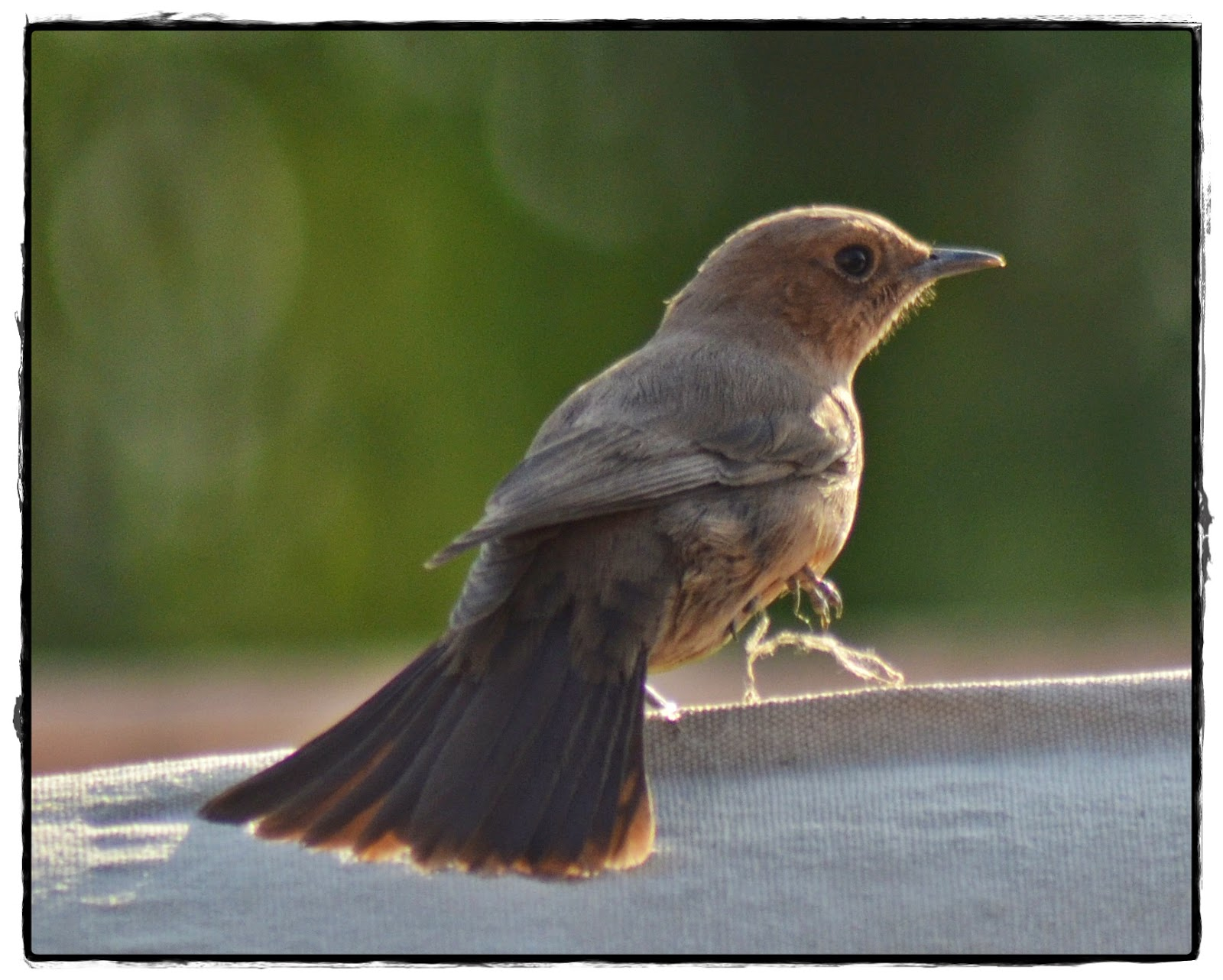 Tail wings, Brown Rock Chat