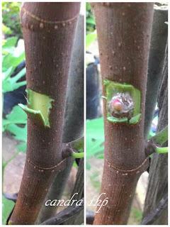Cara Okulasi Pohon Tin