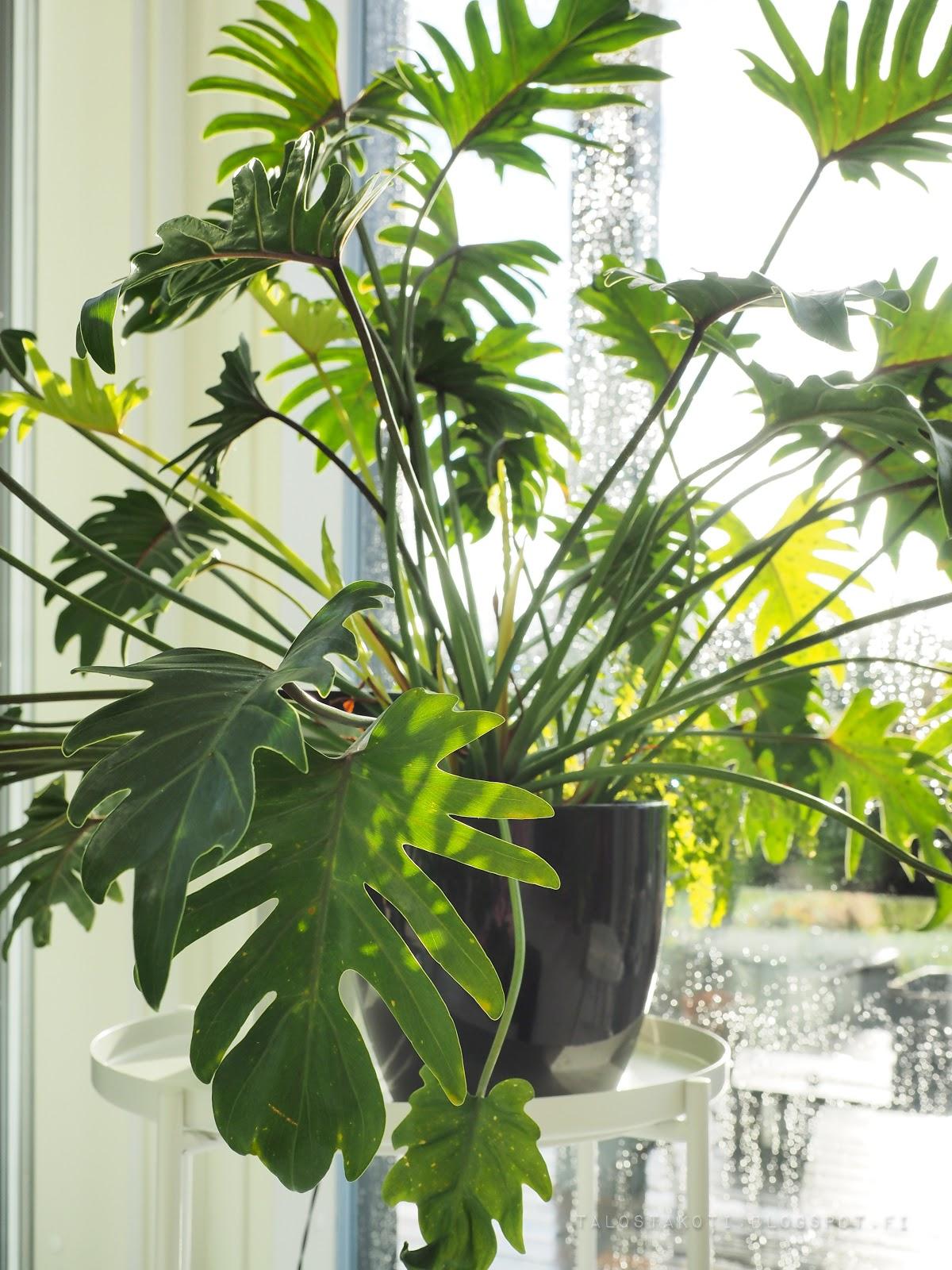 viherkasvi, köynnösvehka, sisustus