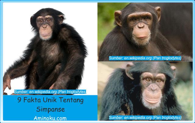 Fakta unik simpanse