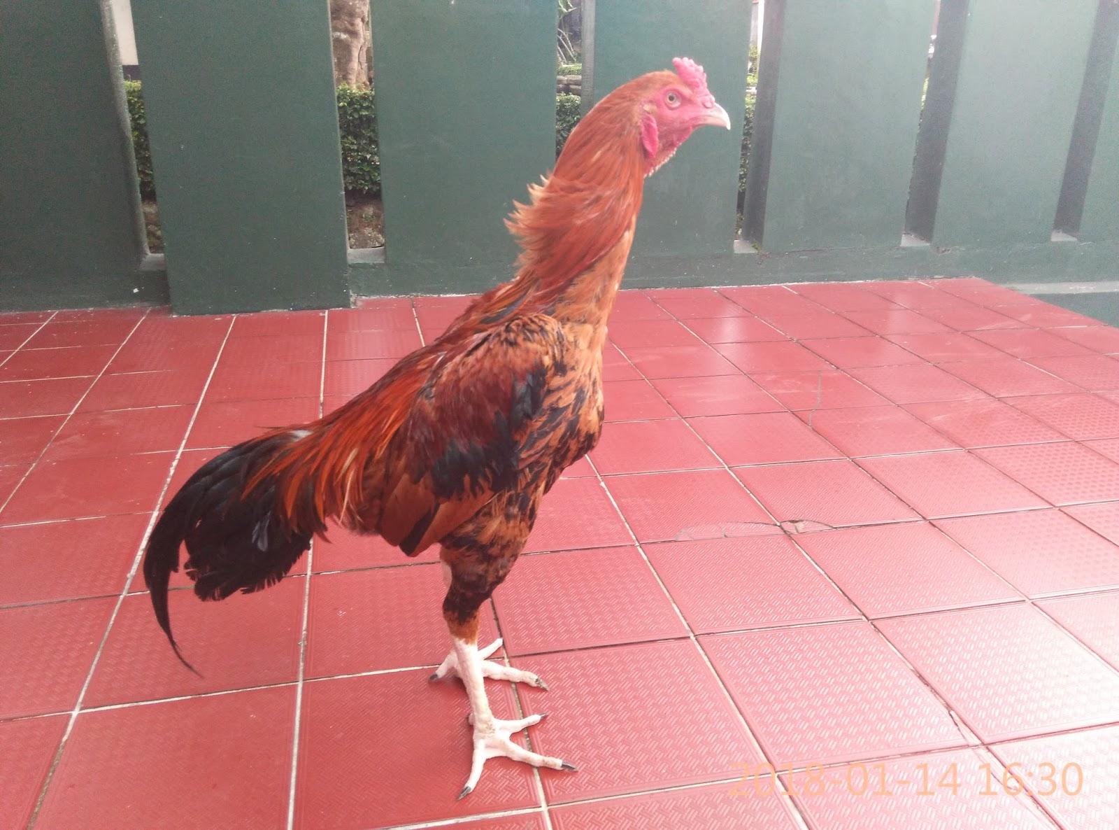 Ayam Birma Pukul Saraf