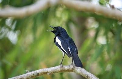 Mengetahui Lebih Dekat Habitat Asli Burung Kacer Di Alam Bebas