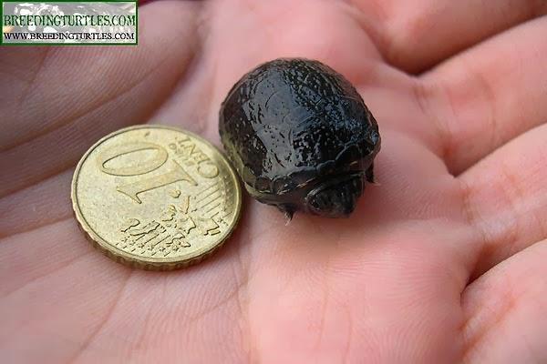 Cría de Kinosternon subrubrum hippocrepis