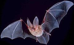 Compreendem os morcegos, mamíferos capazes de voar