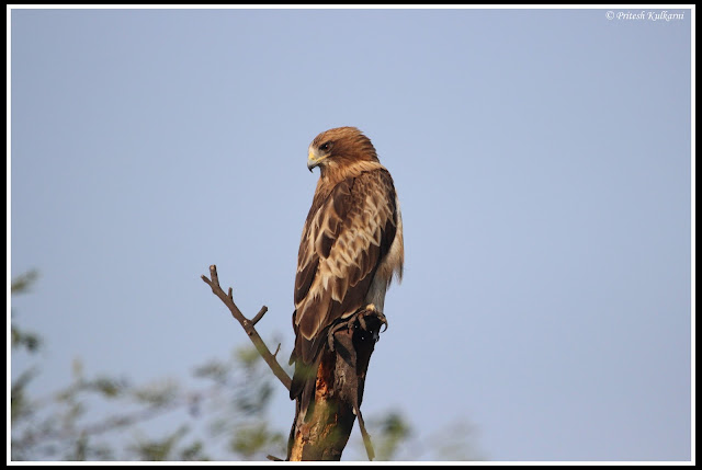 Booted Eagle at Bharatpur