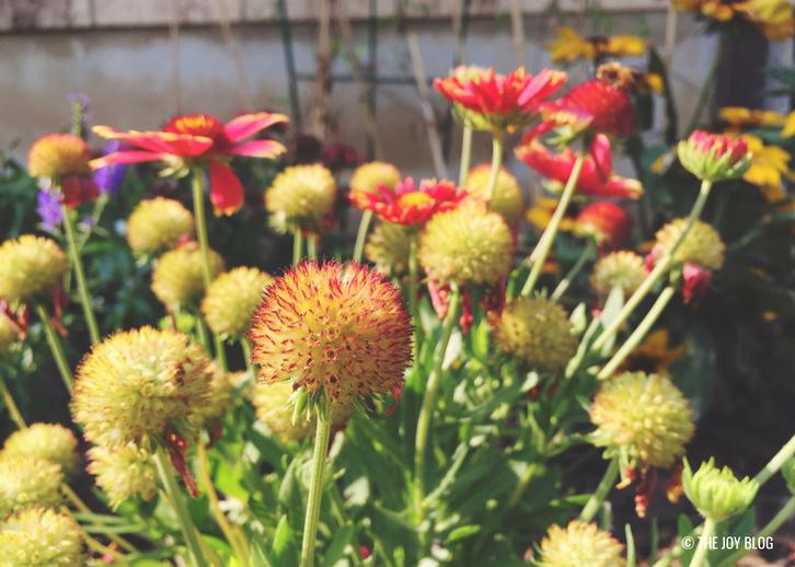 Galliardia // A Bee Friendly Flower Bed - Update   www.thejoyblog.net