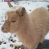 United States Police Declares Nigerian Dwarf Goat Missing In Wisconsin
