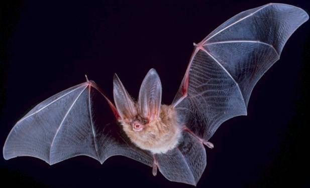 Chiroptera Bat