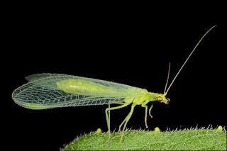 bladluizen bestrijden, ecologisch, gaasvlieg