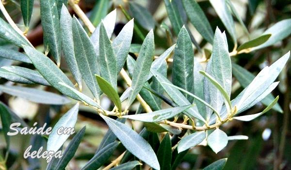 Benefícios das folhas de oliveira