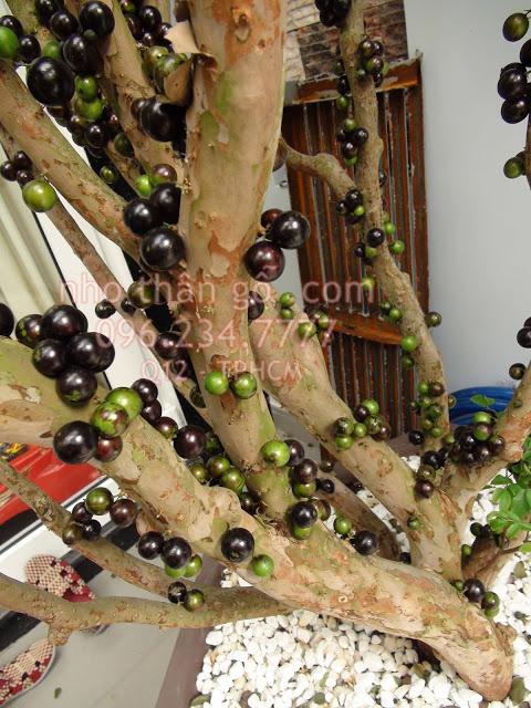 Sản phẩm cần bán: Cây nho thân gỗ - không nên bỏ qua Nho%2Bthan%2Bgo%2Blau%2Bnam
