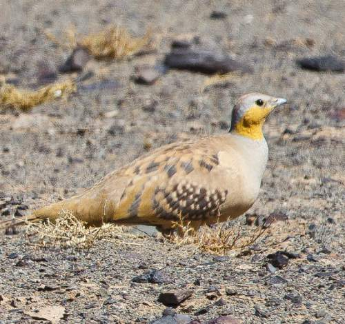 Indian birds - Image of Spotted sandgrouse - Pterocles senegallus