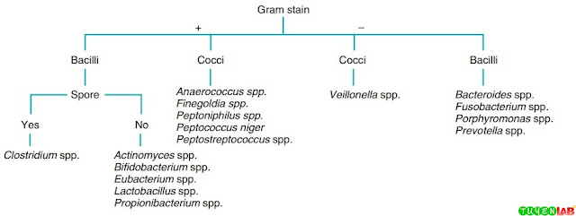 Schematic diagram for the initial identification of anaerobic isolates based on Gram-stain morphology