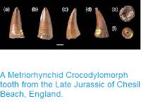 https://sciencythoughts.blogspot.com/2014/06/a-metriorhynchid-crocodylomorph-tooth.html