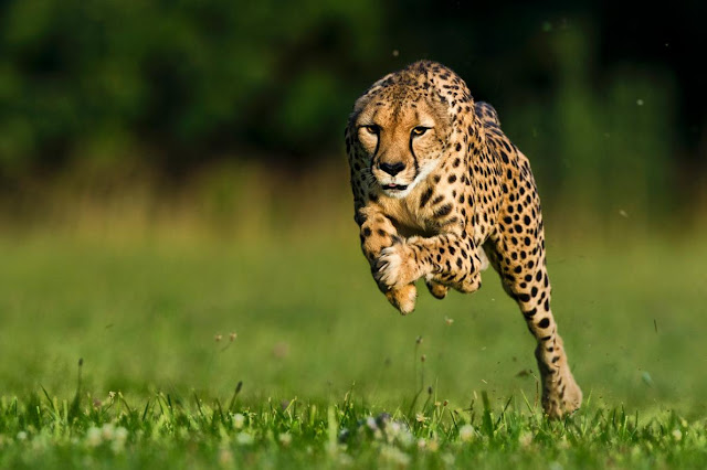 World's Fastest Cheetah Dies—Watch Her Run 100 meters in 5.95 seconds