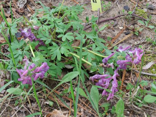 purple corydalis