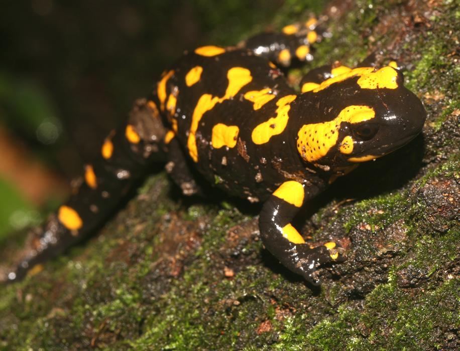 Salamander Online