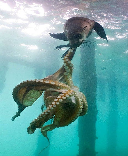 seal hunting octopus