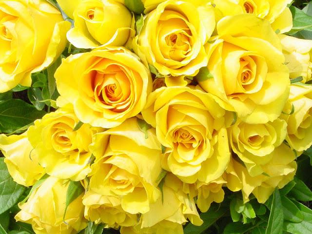 hoa hồng vàng đẹp nhất thế giới 5