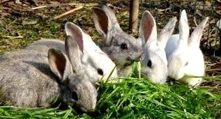 Foto de conejos en plena comida