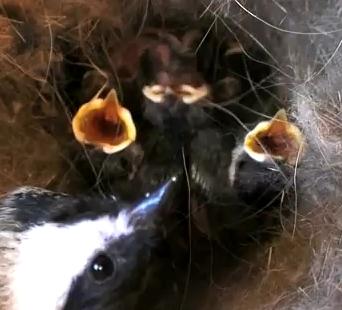Wild Birds Unlimited: Do I leave dummy nests alone?