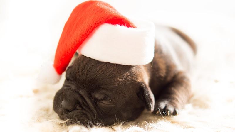 Cute Bulldog Puppy HD