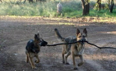 Dogs argue over stick to fetch