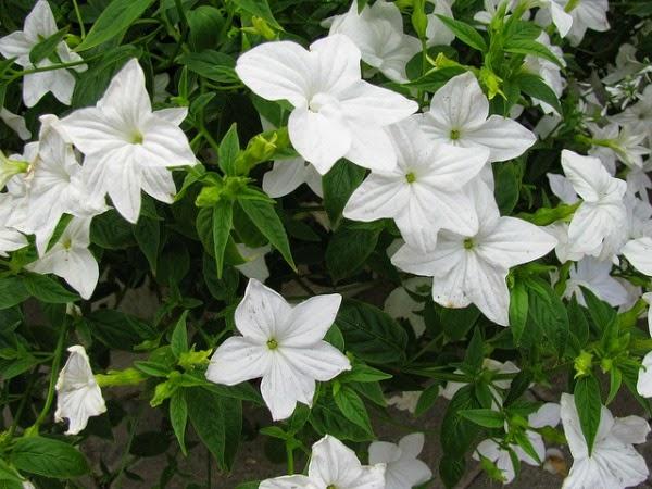 10 plantas para jardines en sombra guia de jardin for Planta ornamental blanca nieves