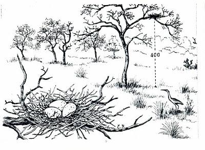 Chiflón: Syrigma sibilatrix