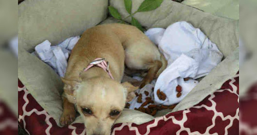 1-Year-Old Chihuahua Surrendered to Kill Shelter With Her Favorite Bed, Left With No More Tears To Cry