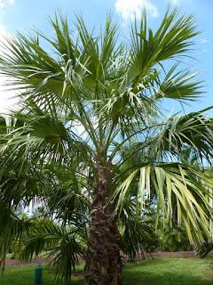 Livistona mariae - Palmier chou d'Australie centrale