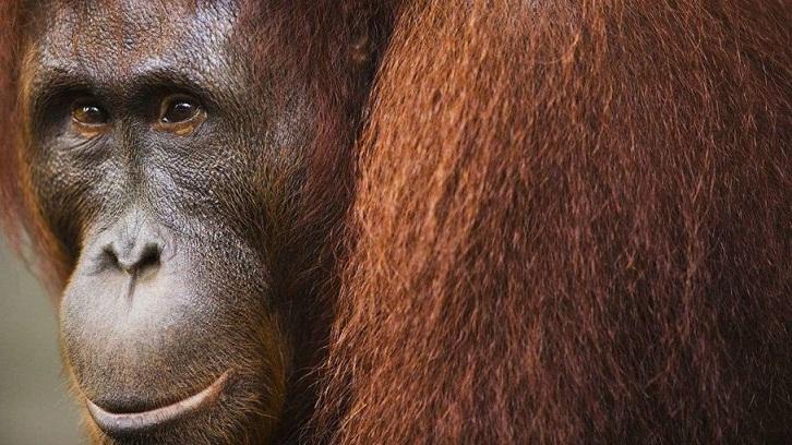 Cara Membedakan Orangutan Jantan dan Orangutan Betina