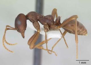 Semut jepang bermanfaat bagi kesehatan dan untuk pengobatan berbagai penyakit