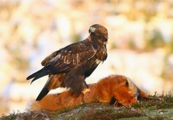 Águila Real con un Zorro Vencido
