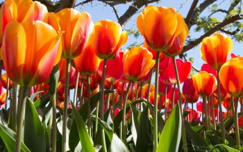 Wallpaper: Gorgeous 4K Tulips