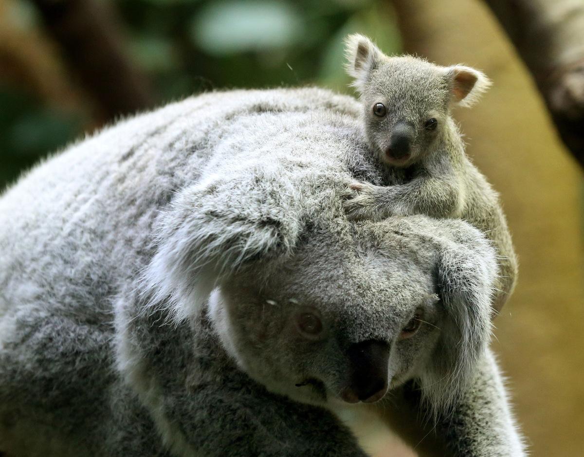 What do koalas eat the garden of eaden - Pics of baby koalas ...